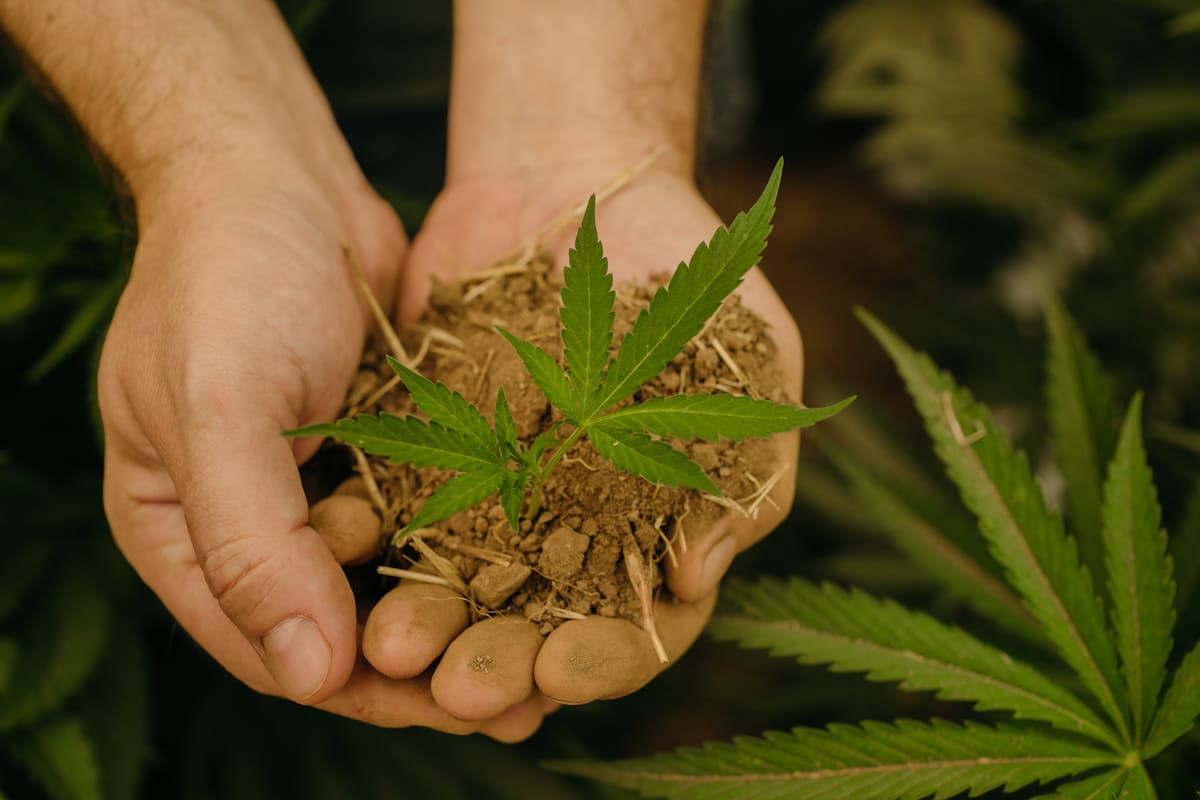 A man holding a cannabis plant in the palm of his hands in preparation to place into the soil