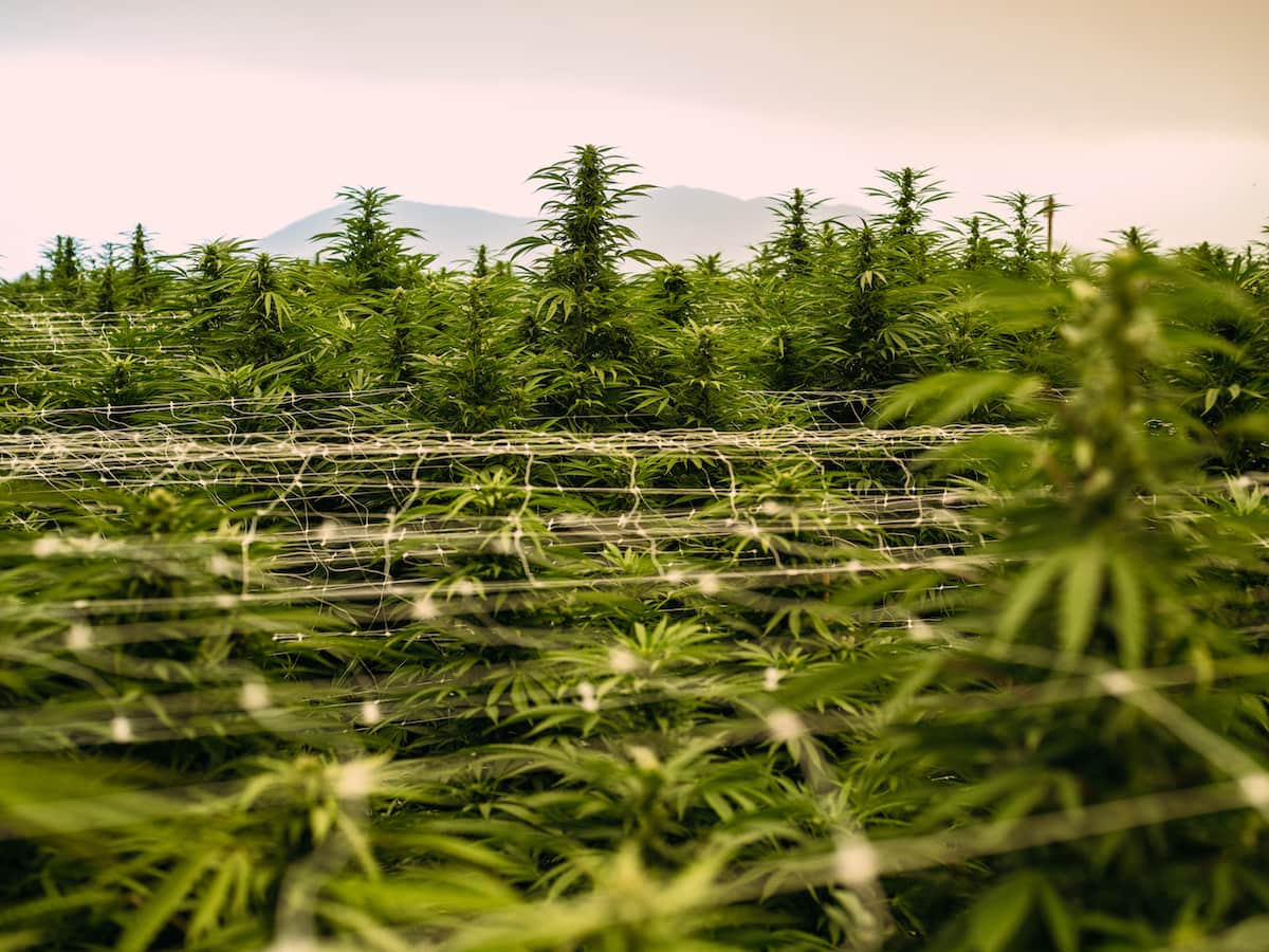 Photo of a field of cannabis