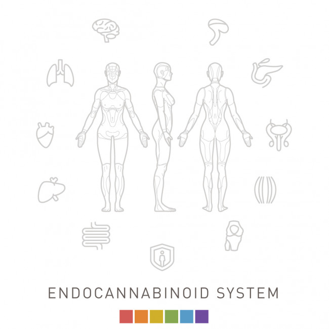 Illustration of the endocannabinoid system
